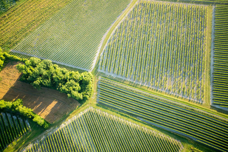 レミーマルタンの葡萄畑